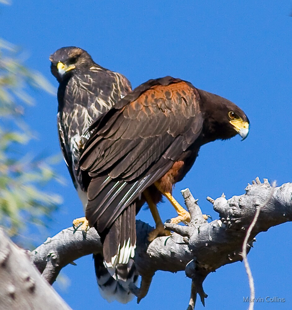 041909 Juvenile and Adult Harris Hawks by Marvin Collins