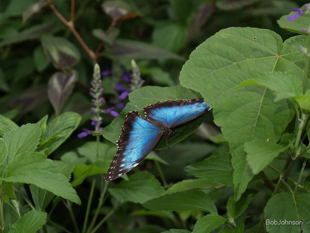 Landing --- Blue Morpho by BobJohnson