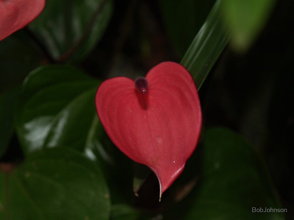 Red Heart by BobJohnson