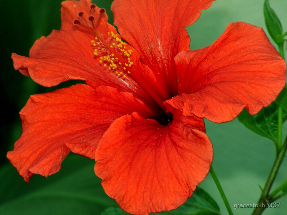 HIBISCUS by gracestout2007