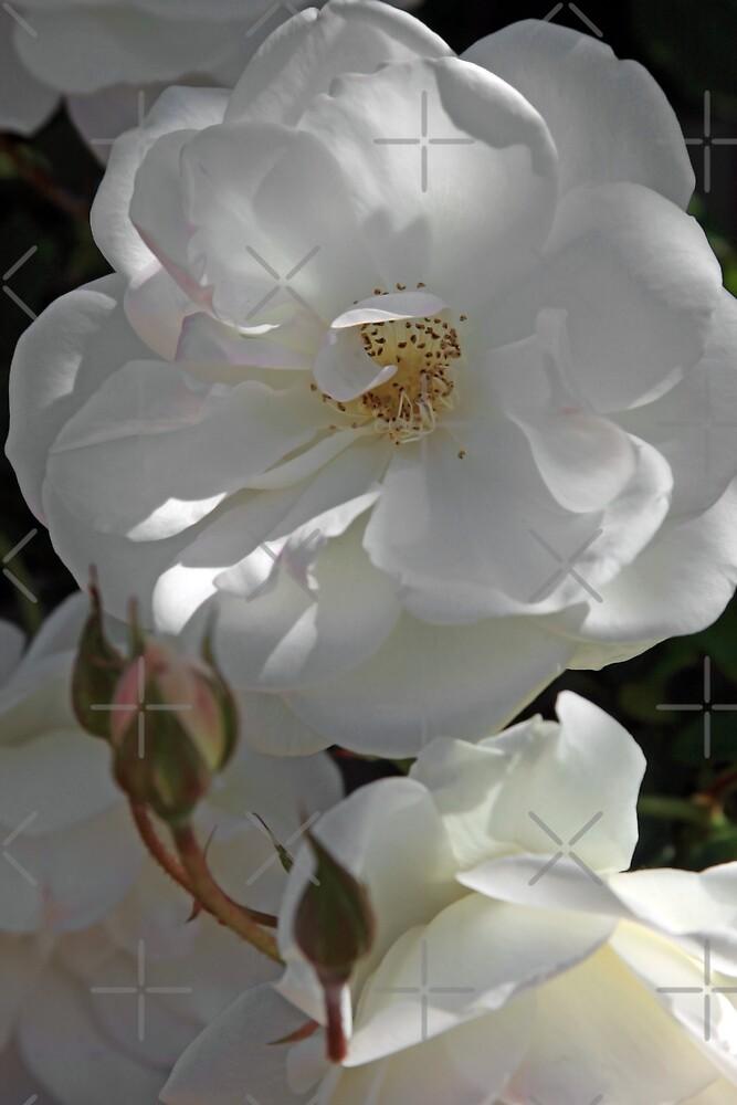 White Rose by CarolM