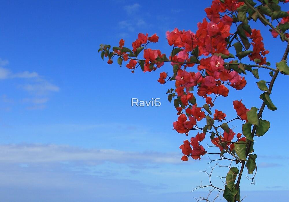 Bougainvillea by Ravi6