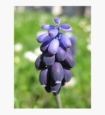 Plump Purple Photographic Print