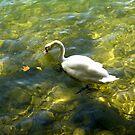 White Swan at Lake Lugano by Lucinda Walter
