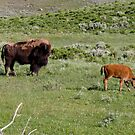 American Bison in Yellowstone National Park by Lucinda Walter