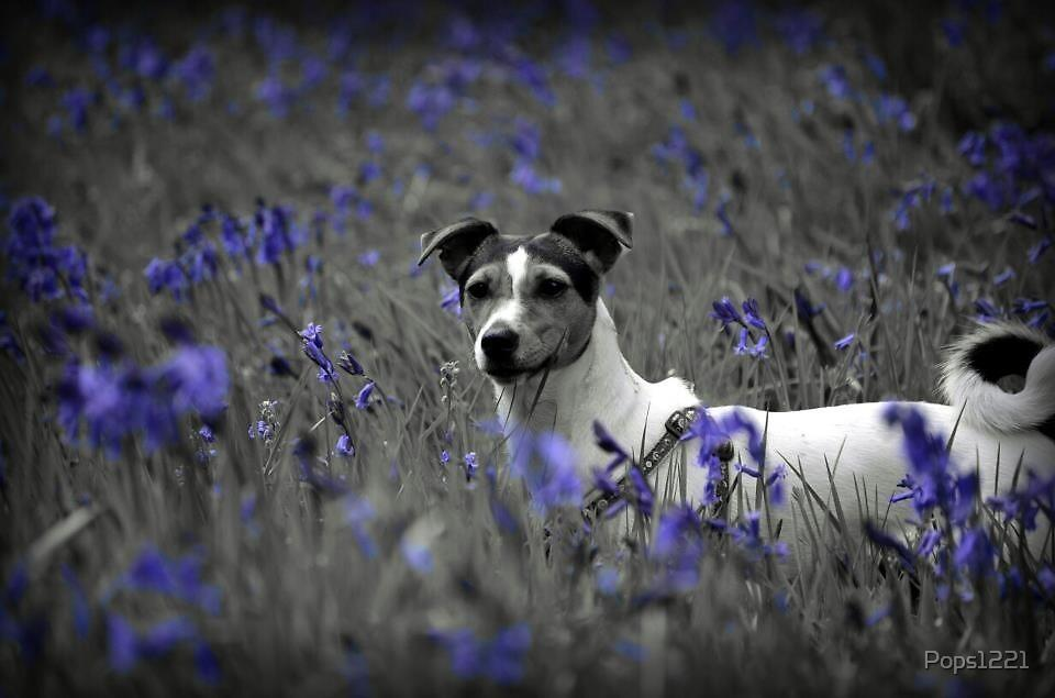 JACK RUSSELL MONOCHROME BLUEBELLS  by Pops1221