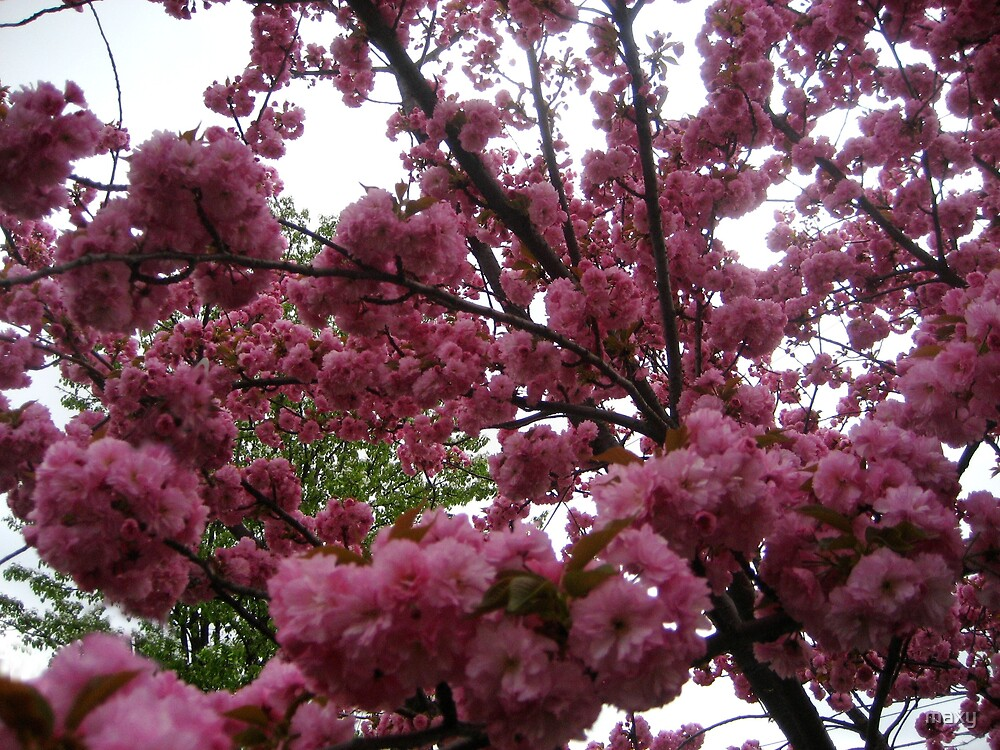 Cherry Blossoms - spring bliss by maxy