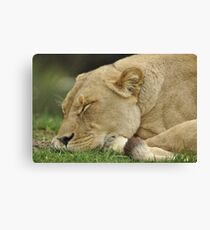 Lioness sleeping Canvas Print