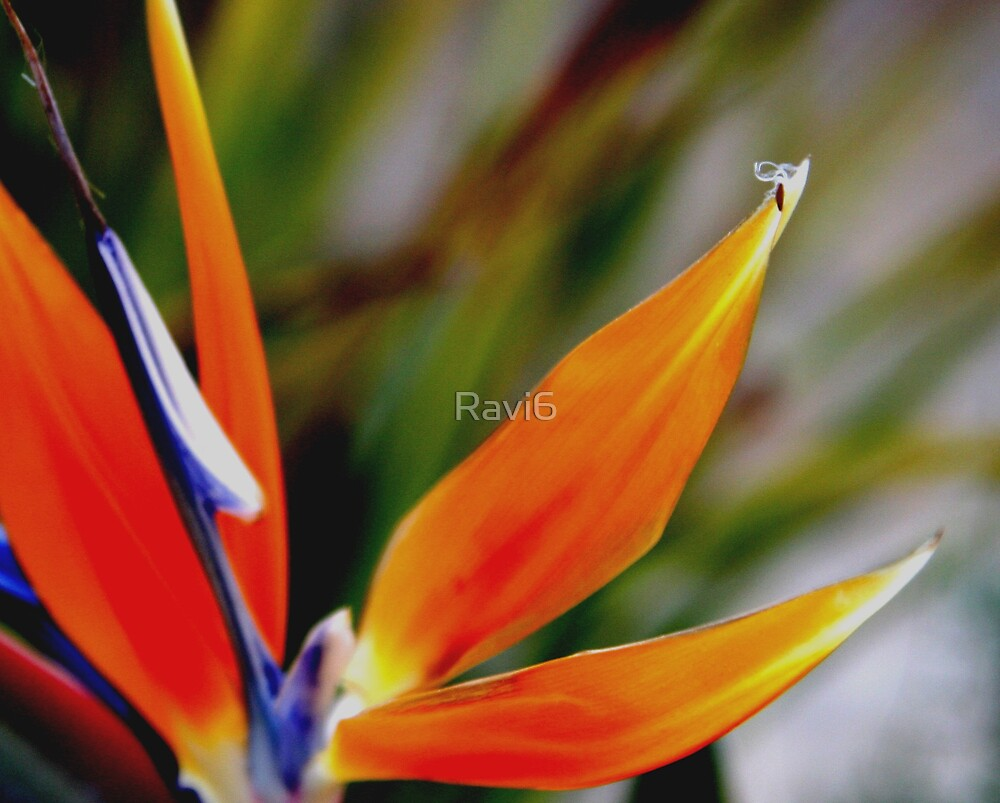 Birds Of Paradise by Ravi6