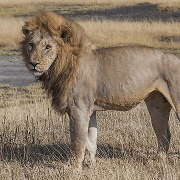 lion by Ukubach