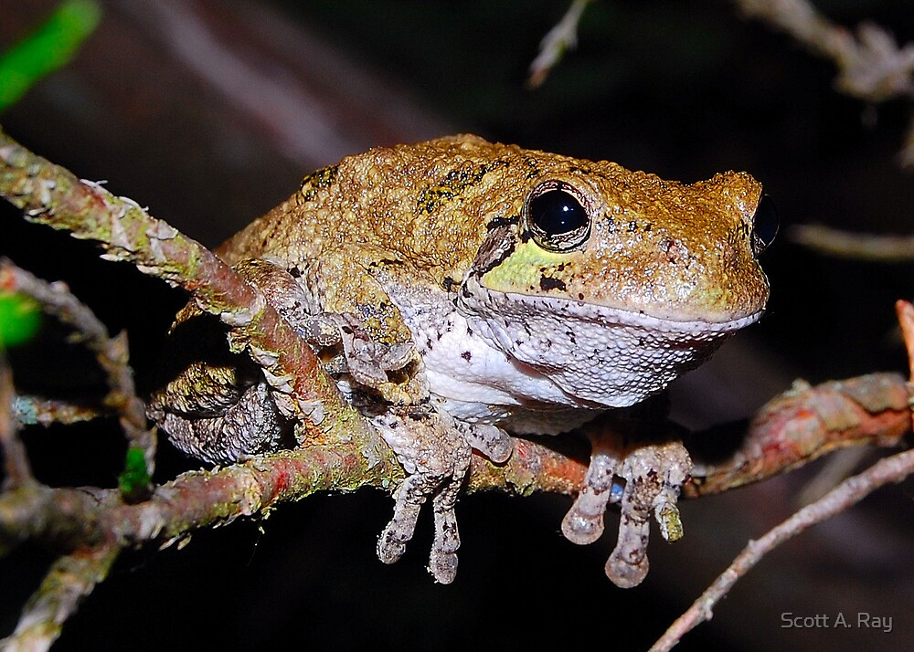 Tree Frog by Scott A. Ray