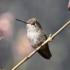 Little Hummingbird Perched by Kathleen Brant