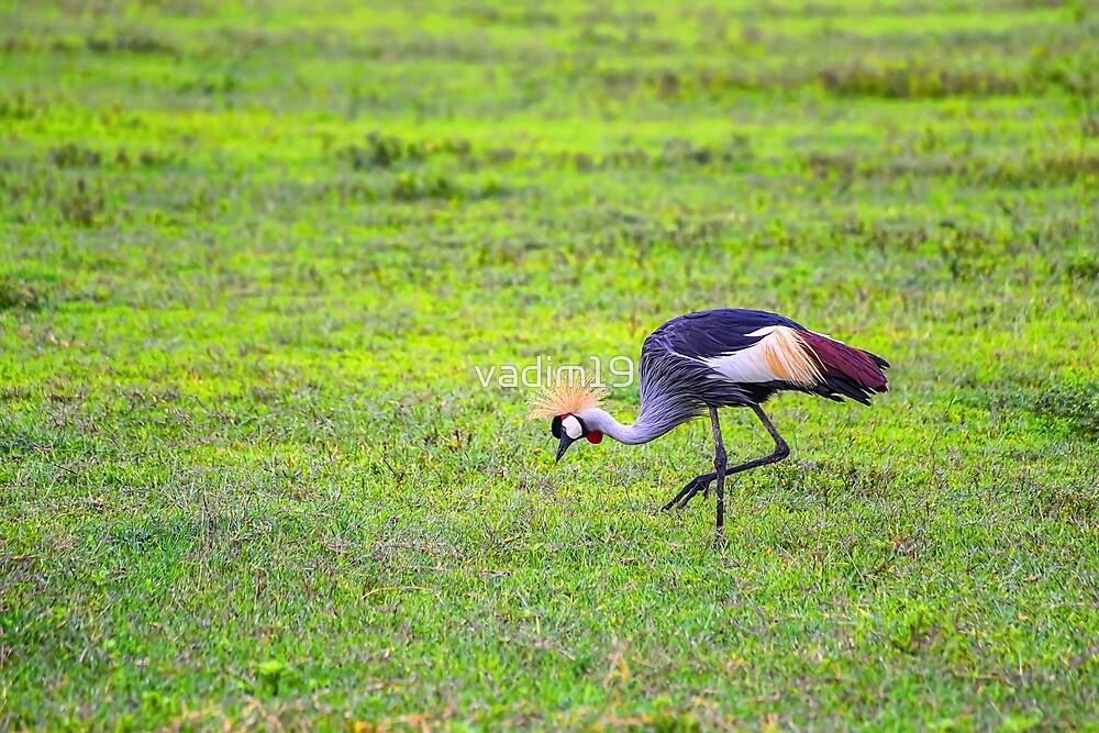 Tanzania. Ngorongoro Conservation Area. Grey Crowned Crane. by vadim19