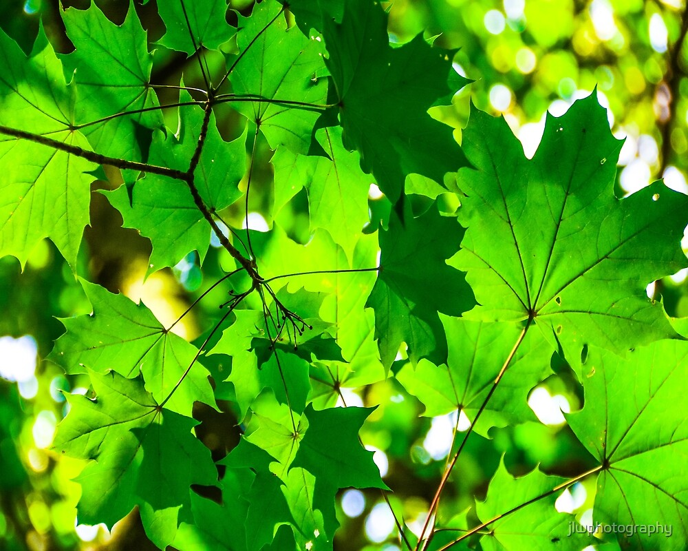 Thru the green leaves by jlwphotography