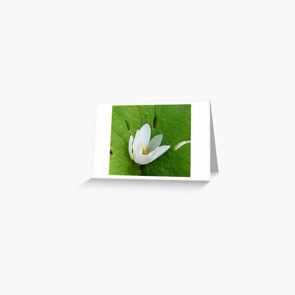 Bloodroot Greeting Card