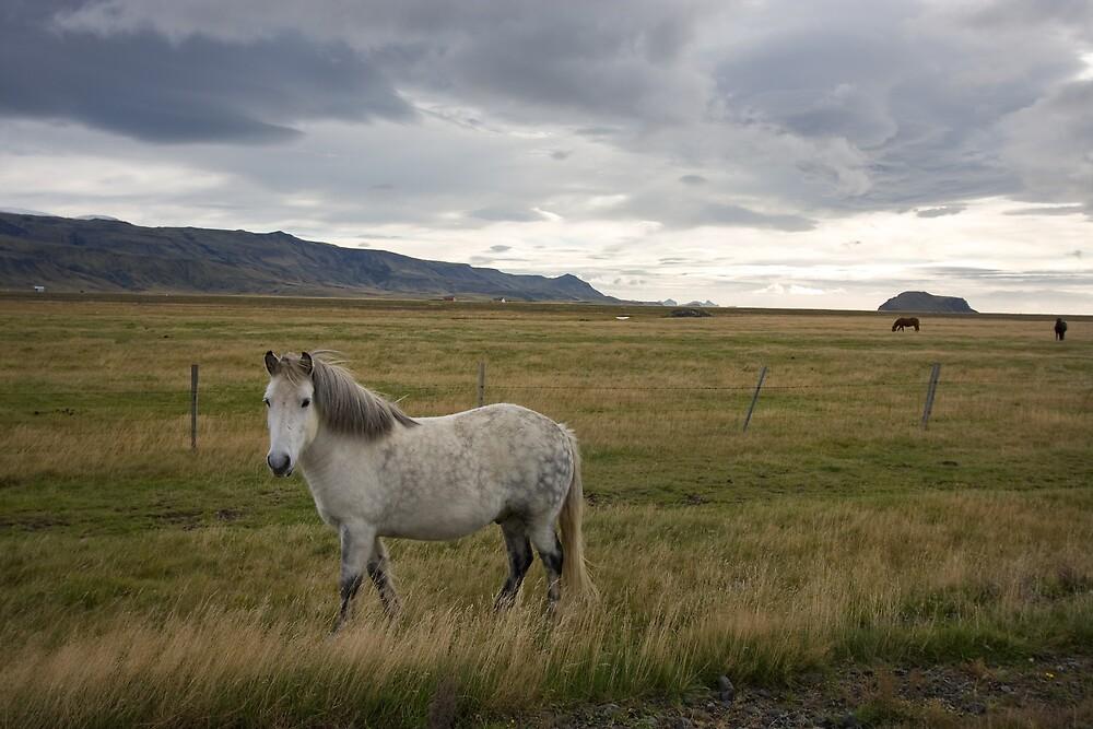 Icelandic Horse by Phil Bain