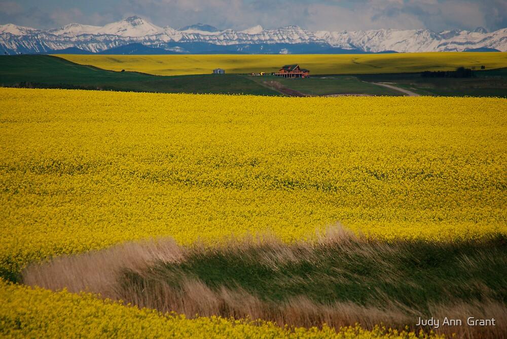 Alberta Canola Glory  by Judy Ann  Grant