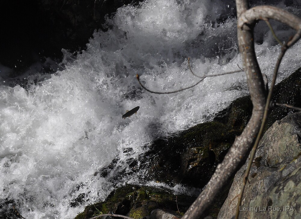 Jumping fish in Bear River Rapids by Lenny La Rue, IPA