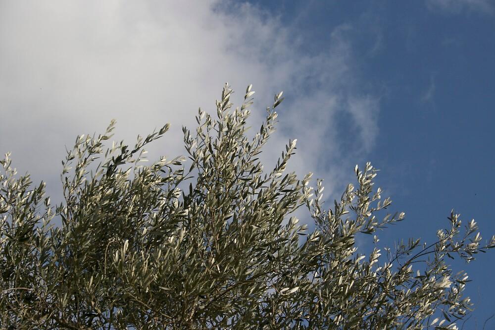 Olive Tree and Sky by ElisaAnedda