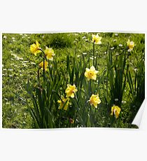 Daffodils bunched together Poster