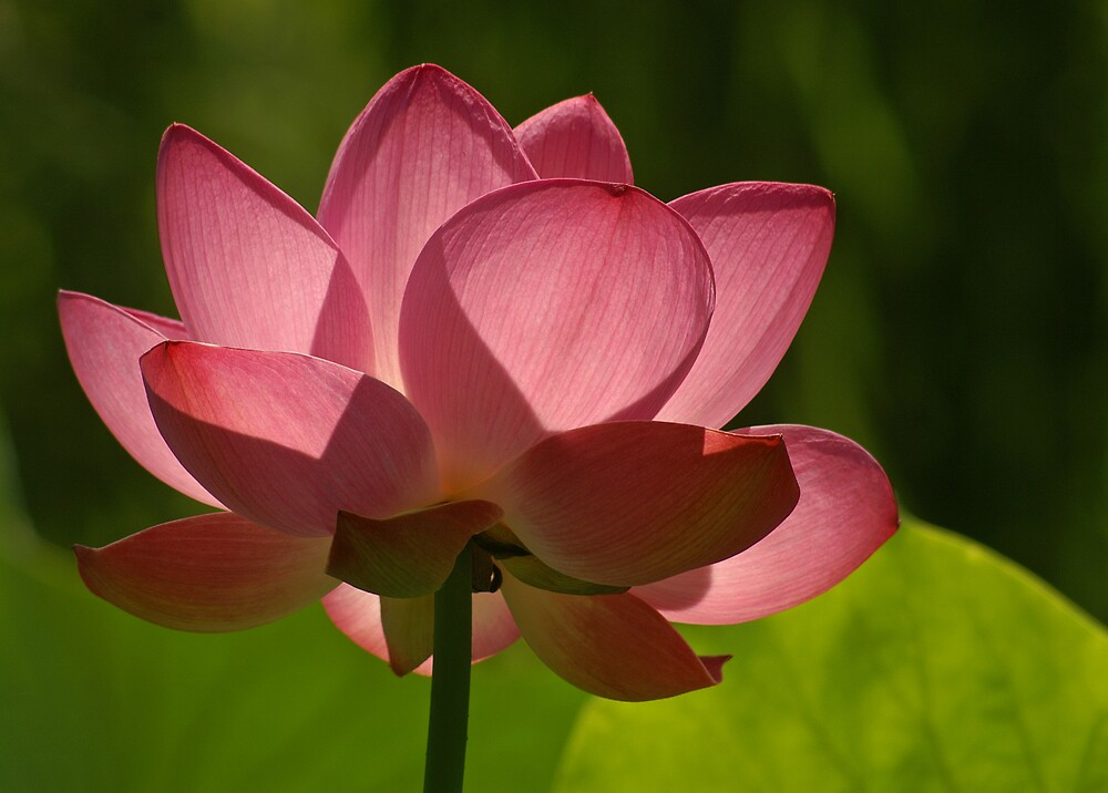 Backlit Lotus by Robert George