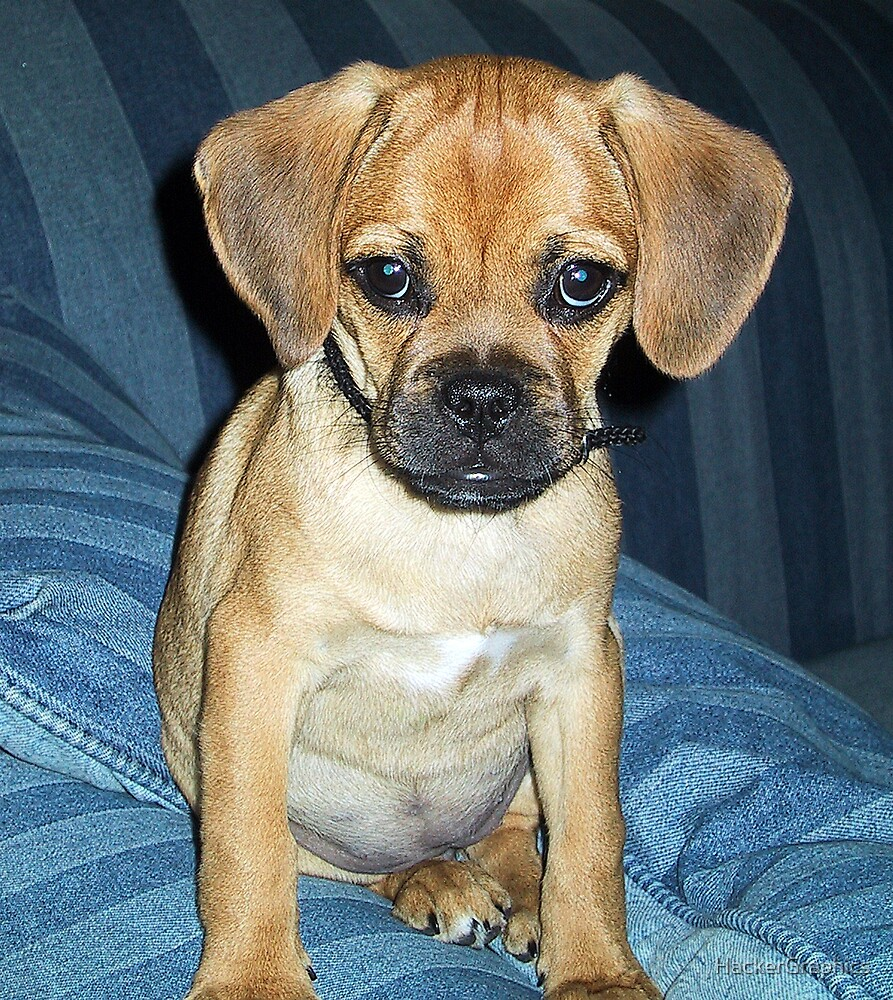 Puggle Pup by HackerGraphics