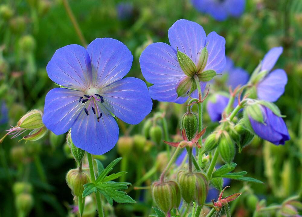 Geranium pratense by renifer