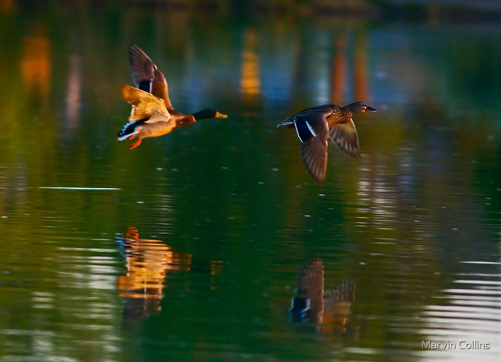 Mallards by Marvin Collins
