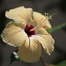 Hibiscus in cream by John Dalkin