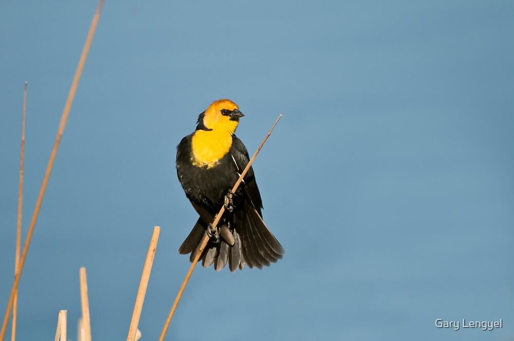 Yellow-Headed Blackbird by Gary Lengyel