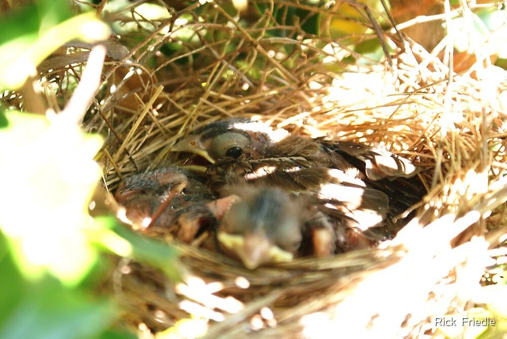 Baby Cardinal 2 by Rick  Friedle