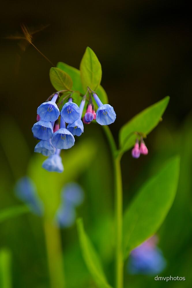 Virginia Blue Bells by dmvphotos
