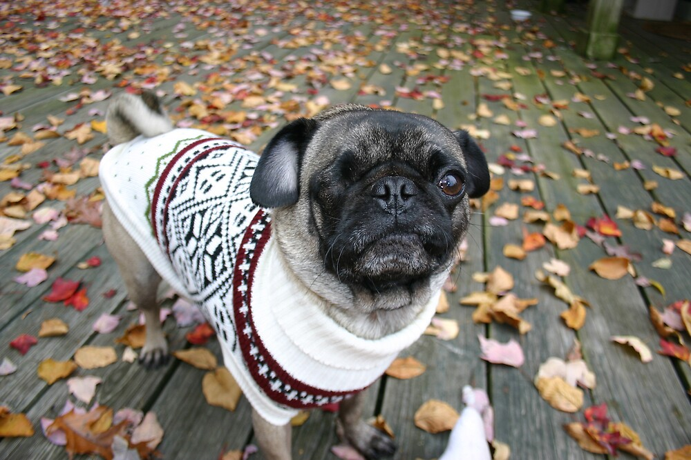 Pug with Sweater on Deck by WinZiggy