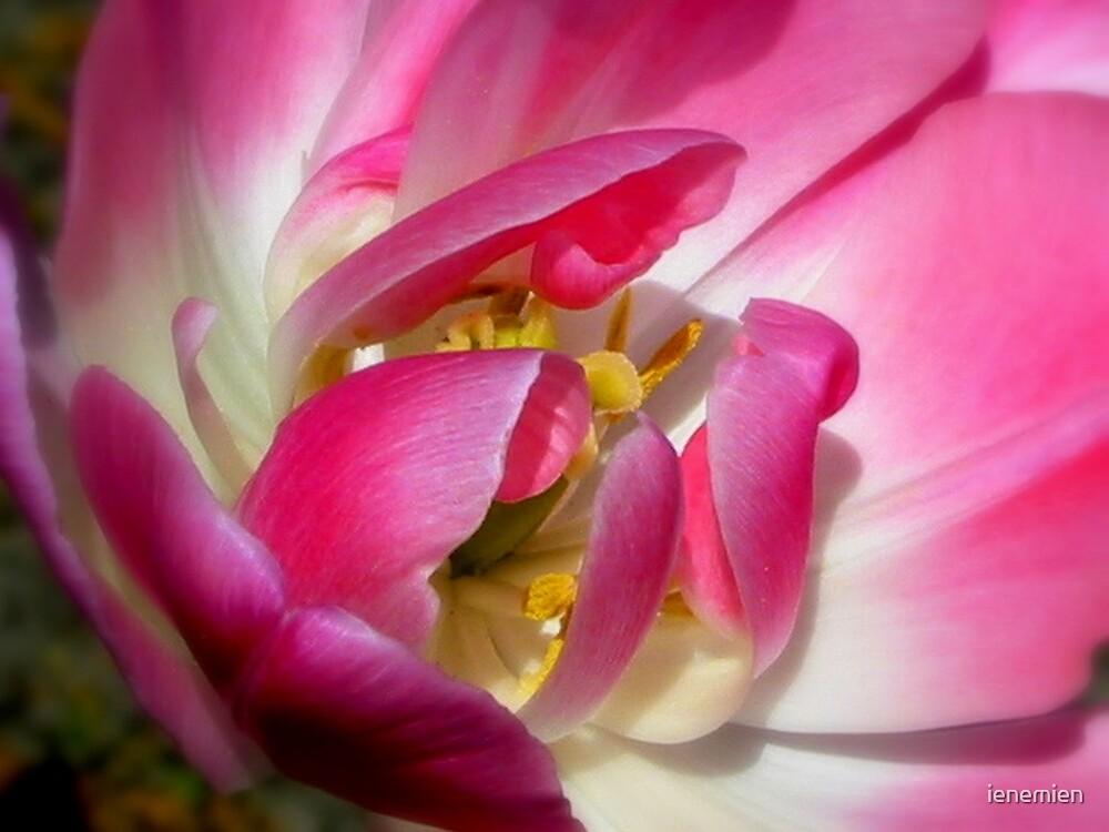 Tulip Heart by ienemien