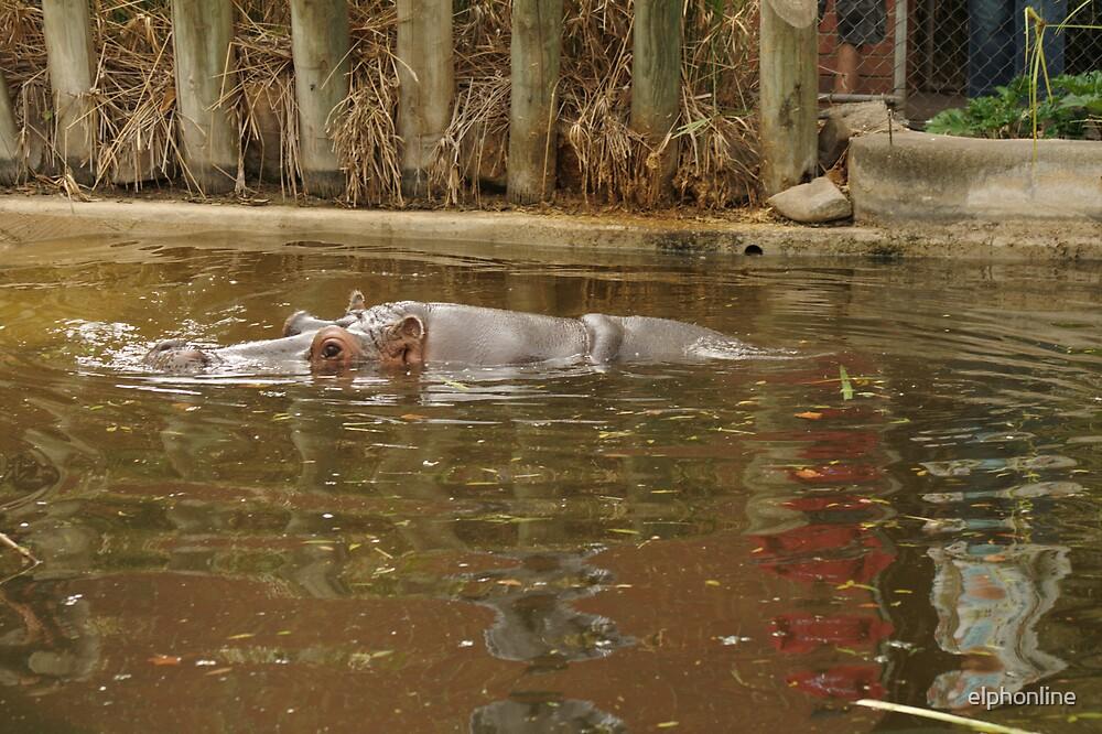 Hippopotamus reflections. by elphonline