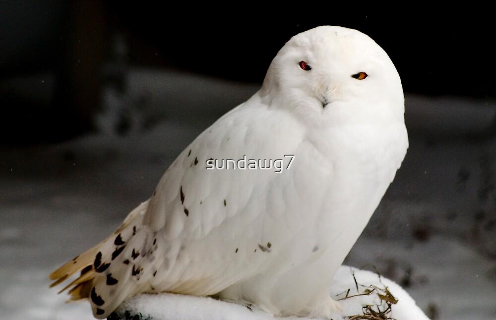 Snowy Owl by sundawg7