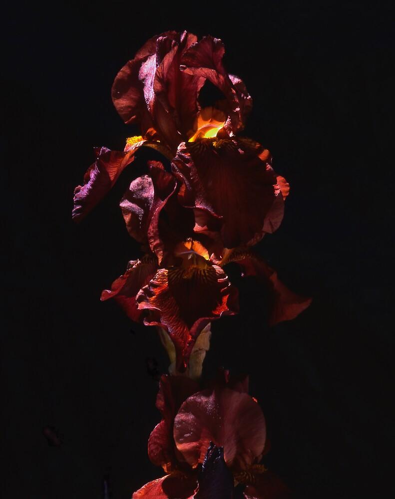 Brown iris by Gabriel Dinim