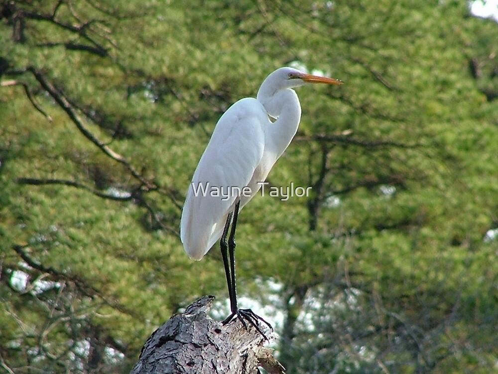 Beautiful Bird by Wayne Taylor