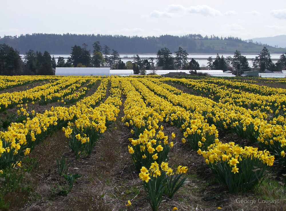 Field of Daffodils by George Cousins