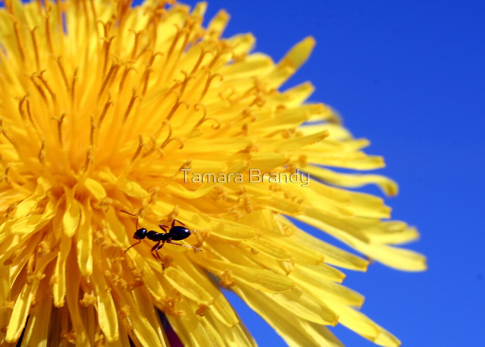 Ant-y Dandelion by Tamara Brandy