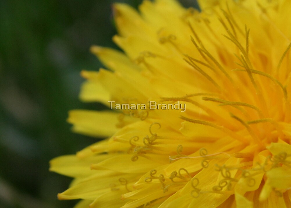 Dandelion curls by Tamara Brandy