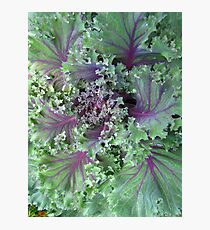 Fresh Red Kale From the Garden Photographic Print