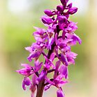 Wild Orchid by JEZ22