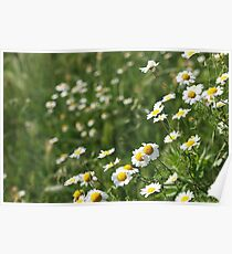 chamomile flower meadow spring season Poster