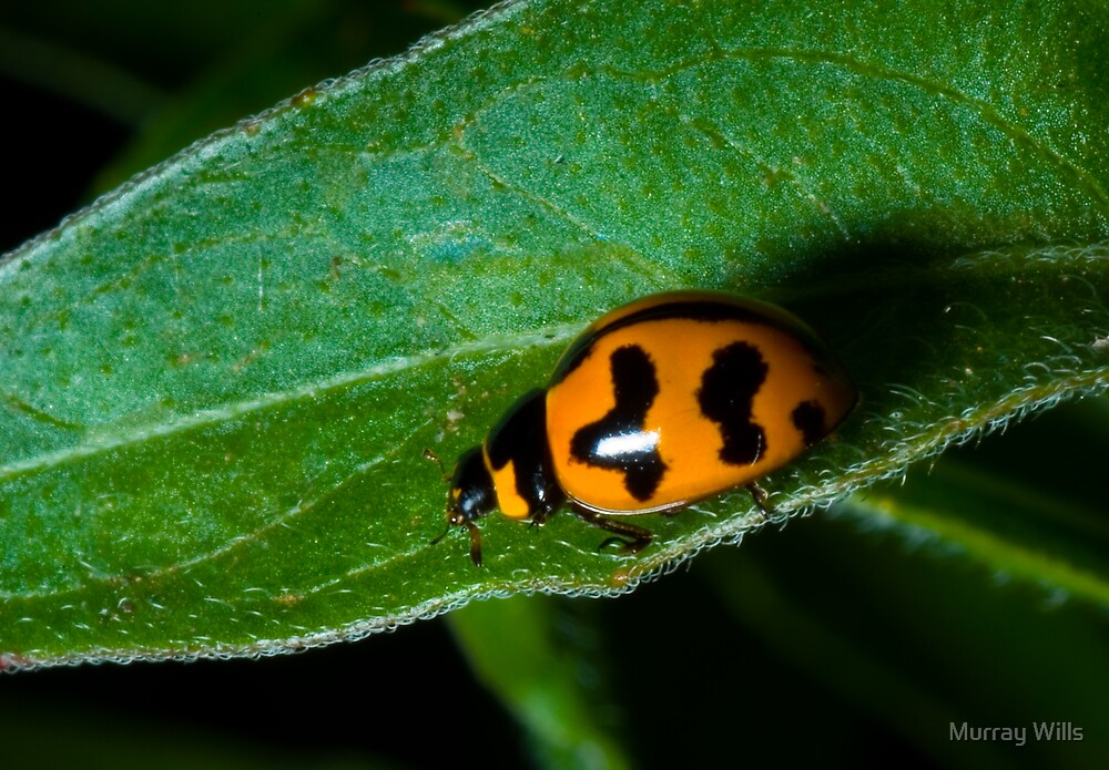 Lady Bug by Murray Wills