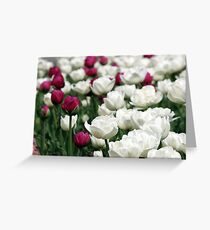 white and red tulip flowers garden Greeting Card