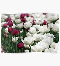 white and red tulip flowers garden Poster