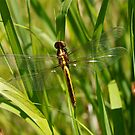 Dragonfly with clear wings by JoyFitzhorn