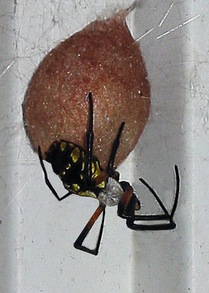 Egg Sac of Black and Yellow Garden Spider by foto4fun