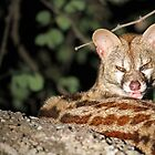 A Greater Spotted Genet by Anthony Goldman